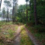 lesperon au coeur de la forêt des landes